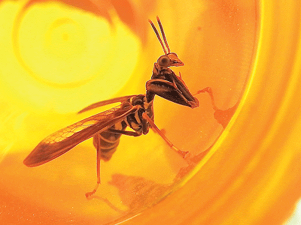 The wasp mantidfly (Climaciella brunnea) shares the hunting weapons of a praying mantis and the warning coloration of a wasp. These fascinating creatures are harmless to humans, even when trapped in a pill bottle. Photo by Emily Stone.