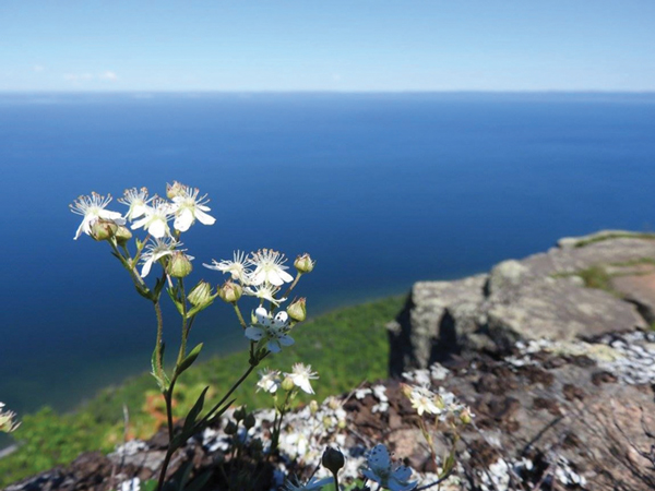 The exquisite flowers of three-toothed cinquefoil cling to cliffs high above Lake Superior in Sleeping Giant Provincial Park. These are truly higher plants! Photo by Emily Stone.