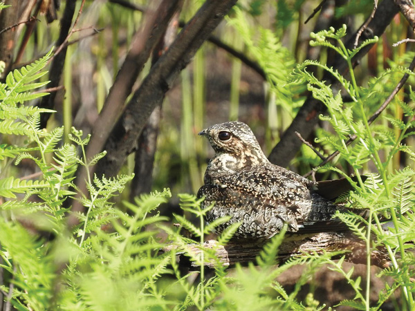 Nighthawks often perch along branches for better camouflage. Photo by Emily Stone.